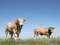 Två blonda D-`-aquitaine tjurar i gräs- äng för holländaregräsplan royaltyfri bild