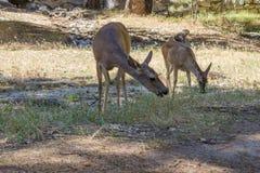 Två bockar i Yosemite Arkivfoto