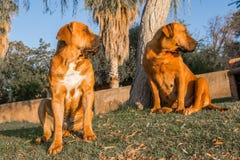 Två Boerboel hundkapplöpning på gräsmattan Arkivfoto