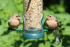 Två bofinkfåglar som matar från fågelförlagematare Royaltyfri Bild