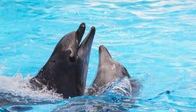 Två bottlenosedelfin i havet Arkivfoto