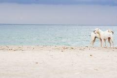 Två boxarehundkapplöpning på stranden Royaltyfri Fotografi