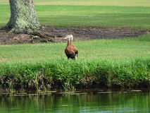 två bruna änder på gräset Arkivfoto