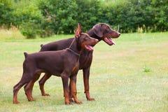 Två bruna dobermans Royaltyfria Foton
