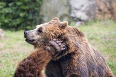 Två bruna grisslybjörnar, medan slåss Royaltyfri Fotografi