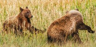 Två bruna grisslybjörngröngölingar som spelar i fält Royaltyfri Bild