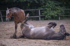 Två bruna hästar Fotografering för Bildbyråer