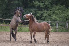 Två bruna hästar royaltyfria bilder