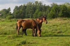 Två bruna hästar Arkivfoton