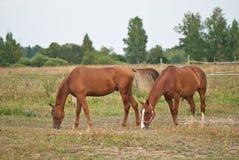 Två bruna hästar Arkivfoto
