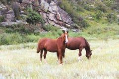 Två bruna hästar Royaltyfri Bild