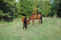 Två bruna hästar på en äng arkivfoto