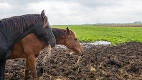 Två bruna hästar som äter hö Royaltyfri Bild