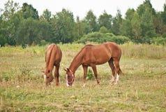 Två bruna hästar som betar i ett fält Royaltyfria Bilder