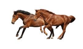 Två bruna hästar som kör snabbt som isoleras på vit Arkivfoto