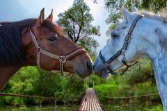 Två bruna hästar som nuzzling varje annan royaltyfria foton