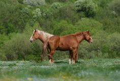 Två bruna hästar står på en grön blommaäng under de gröna skogarna och ser i motsatta riktningar och somnar royaltyfri fotografi