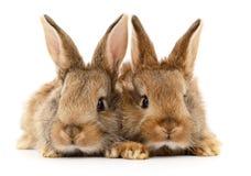 Två bruna kaniner Royaltyfria Foton