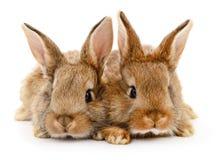 Två bruna kaniner Fotografering för Bildbyråer