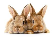 Två bruna kaniner Arkivbild