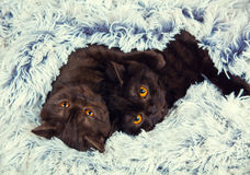 Två bruna kattungar Arkivbilder