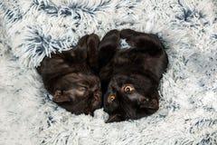 Två bruna kattungar Royaltyfri Bild