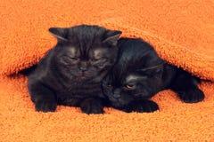 Två bruna kattungar Arkivfoton