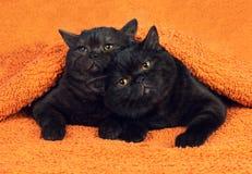 Två bruna kattungar Royaltyfri Foto