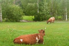 Två bruna kor på dagen för sommar för grönt gräs för lantgård den soliga Royaltyfri Foto