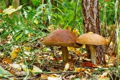 Två bruna locksopp i skogen Fotografering för Bildbyråer