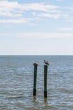 Två bruna pelikan på Wood stolpar i havet Arkivbild