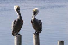 Två bruna pelikan stirrar direkt på de längs tokiga Laguna fotografering för bildbyråer