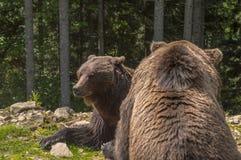 Två brunbjörnar i skogen Royaltyfri Foto