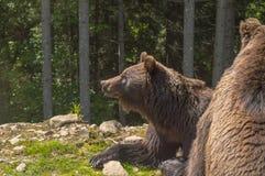 Två brunbjörnar i skogen Royaltyfria Bilder