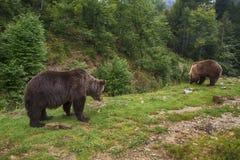 Två brunbjörnar på skogen Royaltyfri Fotografi