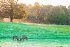 Två brunstiga röda fullvuxna hankronhjortar Royaltyfri Fotografi