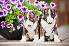 Två bull terrier valpar med blommor Arkivbilder