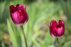 Två burgundy tulpan Arkivbild