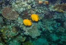 Två butterflyfish Fotografering för Bildbyråer