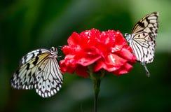Två butterflys på en blomma Arkivbild