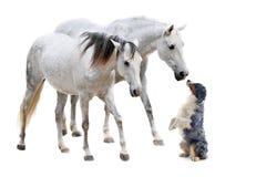 Camargue hästar och australiensisk sheepdog fotografering för bildbyråer