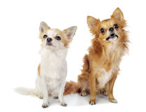Två chihuahuahundar som ser upp med intresse Royaltyfri Fotografi