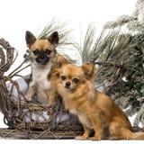 Två chihuahuas framme av ett jullandskap Royaltyfri Fotografi