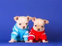 Två Chihuahuas på en blå bakgrund i studion Gulliga valpar som poserar i kläder royaltyfria foton