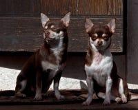 Två Chihuahuas som placeras på en stentrappuppgång Arkivfoton