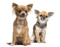 Två Chihuahuas som sitter att se bort Arkivbild