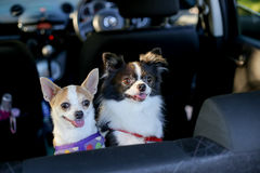 Två chihuahuas som står i baksäte och blick på ägaren Royaltyfri Foto