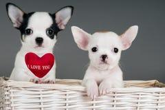 Två Chihuahuavalpar. Arkivbild