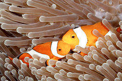 Två clown Anemonefish Royaltyfria Foton