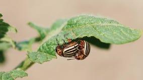 Två Colorado gjorde randig skalbaggar - Leptinotarsa Decemlineata Denna skalbagge är en allvarlig plåga av potatisar Reproduktion lager videofilmer
